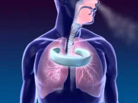 Cơ thể học - Hệ hô hấp (The human body - Respiratory system)