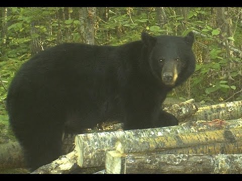 Surprising Facts About Scent And Wind Direction In Bear Hunting