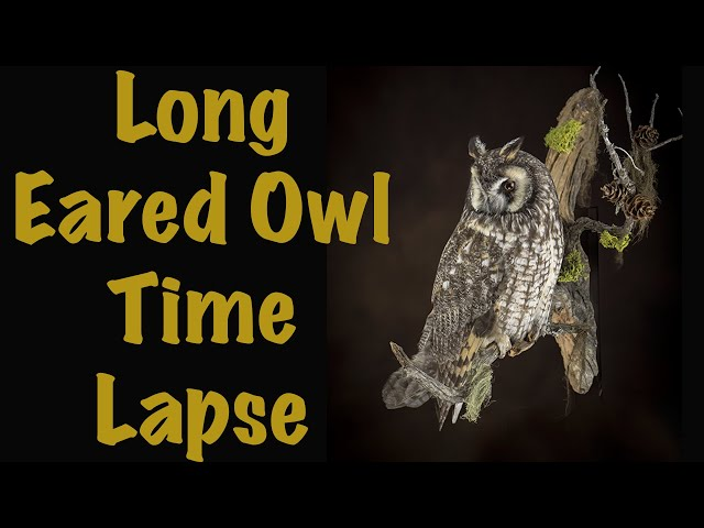Long eared Owl Taxidermy. Time Lapse entertainment. Art of Taxidermy.