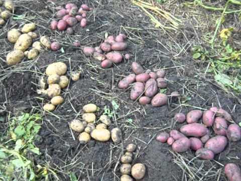 Картофель под соломой. Сорта: Зекура, Симфония, Киевский свитанок, Криница. 2014 год
