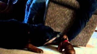 Rottweiler Attacked Dachshund