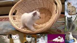 Cats  Birman  Cat Breeds