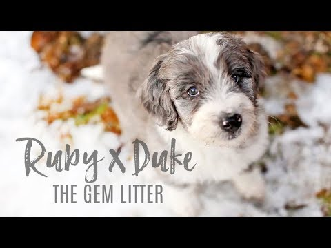 Aussiedoodle puppies- Ruby x Duke 2018