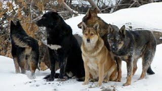 Стаи диких собак 1 серия   Документальный фильм про животных
