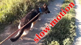 Девушка выгуливает собаку овчарку на поводке   slow motion