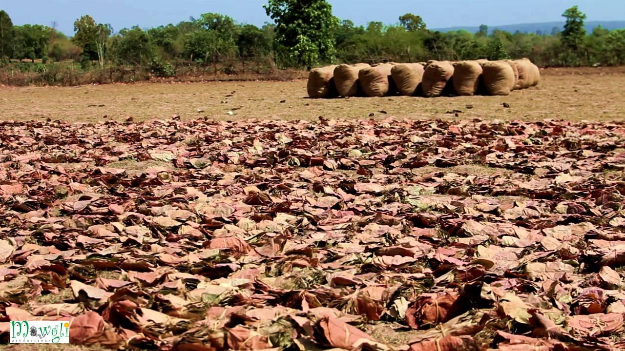 Tendu Leaves Drying in Sun For Beedi Cigarettes