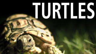 Song About Turtles