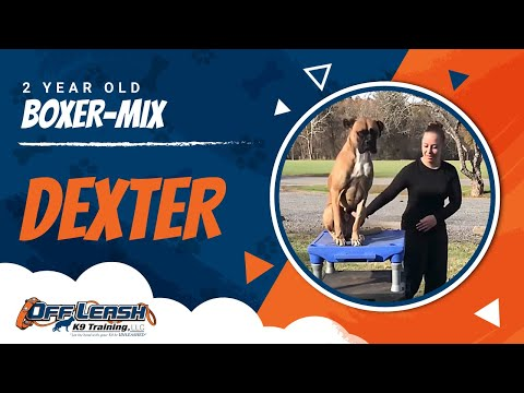 2-Year Old Boxer-Mix, Dexter | Boxer Dog Training | Off Leash Boxer Dog Trainers