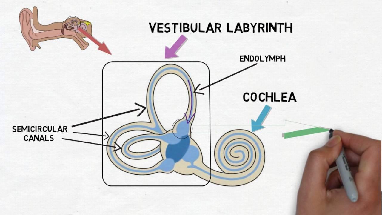 hight resolution of fish ear diagram