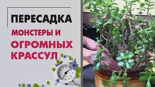ПЕРЕСАДКА многолетней МОНСТЕРЫ и огромных КРАССУЛ Помогаю цветоводам