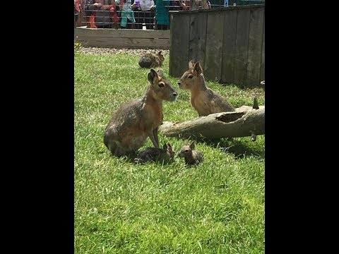 Thumbnail: Animal Adventures with Jordan: Patagonian Cavies