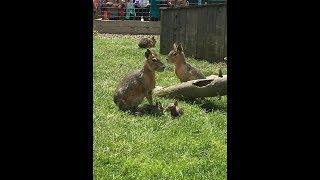 Animal Adventures with Jordan: Patagonian Cavies thumbnail
