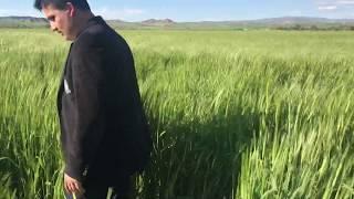Hububata Pas İlacı Atan Çiftçinin Memnuniyeti