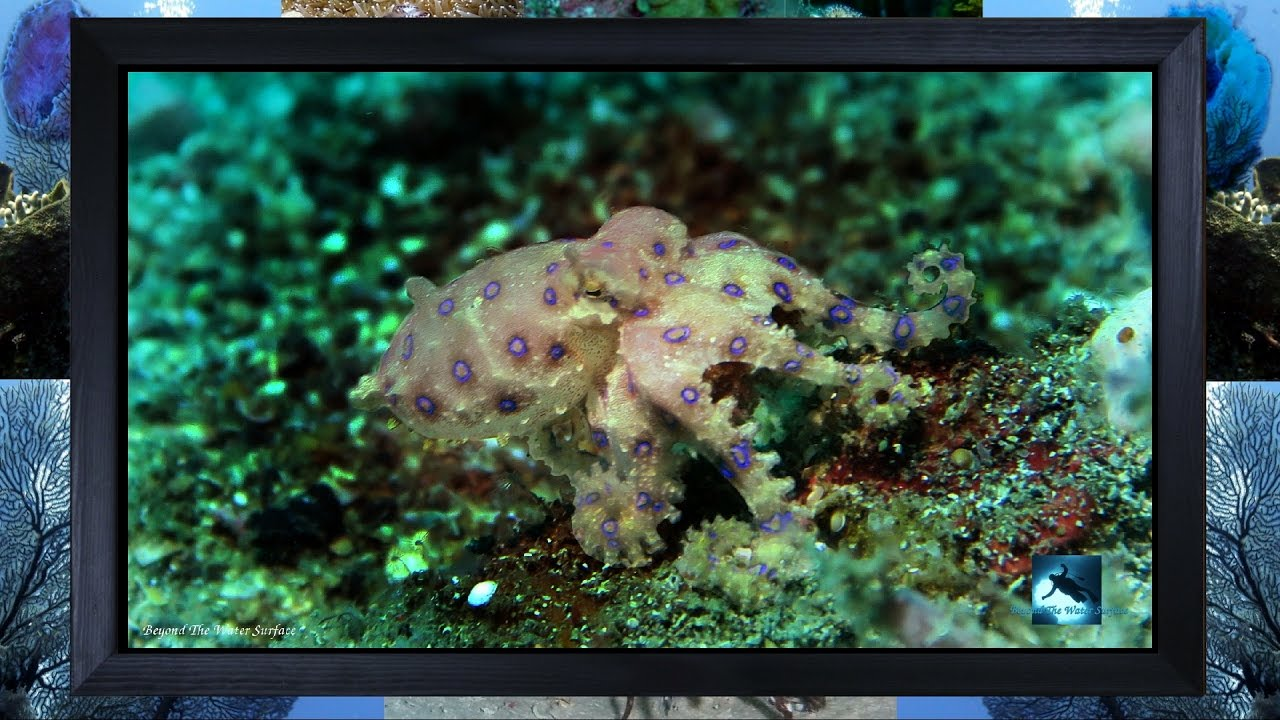 Blue Ringed Octopus Rare Mating Live Scene