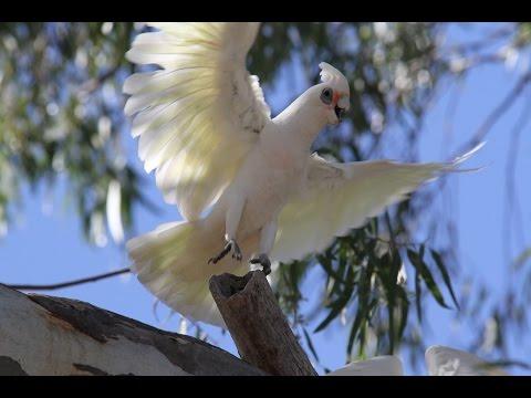 Cockatoos In Australia