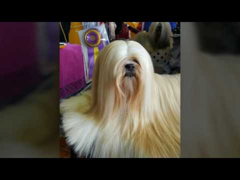 The image of Lhasa Apso, the longest-lived dog in the world - Pets Worldwide