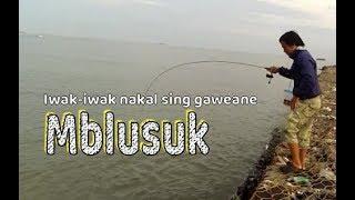 Ultralight fishing: Iwak-iwak nakal sing gaweane mblusukke umpan thumbnail