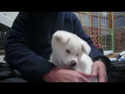 秋田犬抱っこを終了されるもまた抱っこされに行く【akita dog puppy】