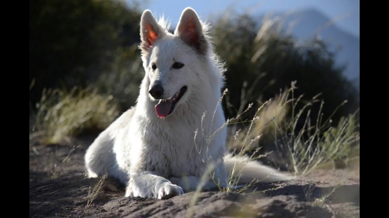 White Swiss Shepherd. Owner feedback