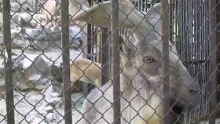 Винторогий козел! Красивейшее животное! Николаевский зоопарк!