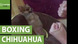 Precious Chihuahua throws the cutest punches ever!