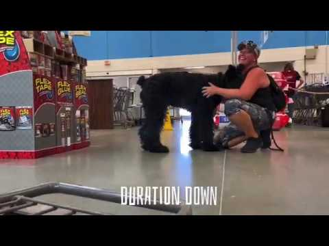 """6 Mo Old Giant Schnauzer """"Gunther""""