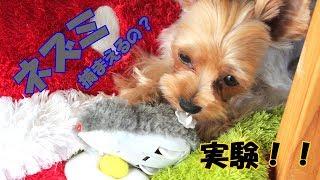 【ヨークシャーテリア専門犬舎チャオカーネ】 ヨークシャーテリアは本当...