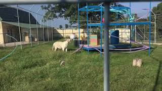 White Tiger Cubs Celebrate Second Birthday- Turpentine Creek Wildlife Refuge