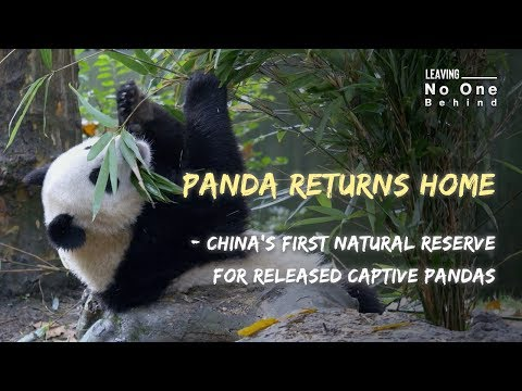 Panda Returns Home – China's First Natural Reserve For Released Captive Pandas