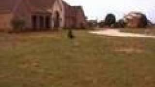 Air Lucas - Staffordshire Bull Terrier