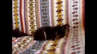 Купить щенка той-терьера в Москве. 8-905-546-66-92 РКФ.