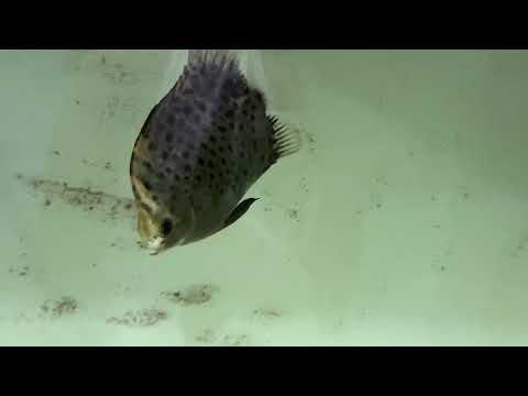 How To Keep Scat Fish (Kikiro) An Intro