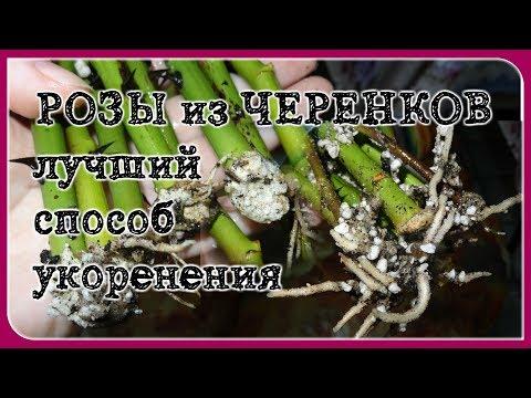 Укоренение черенков роз. САМЫЙ ЛУЧШИЙ СПОСОБ!