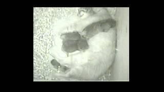 Rare Pallas' Cat Birth-Cincinnati Zoo