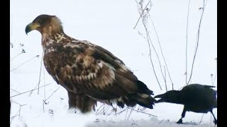Crows banish eagle. Animals in Chernobyl(Вороны прогоняют орлана. Полесский радиационно-экологический заповедник. Беларусь. Чернобыль. Зона. Crows..., 2011-02-13T19:48:59.000Z)