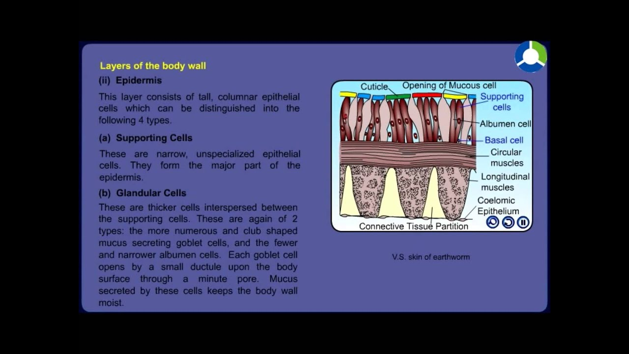Earthworm Morphology and Anatomy - YouTube