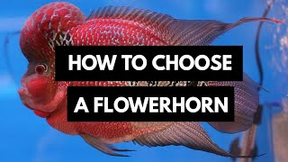 The Right way to Choose a Flowerhorn Cichlid...
