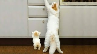 「かわいい猫」 笑わないようにしようとしてください - 最も面白い猫の映画 #285