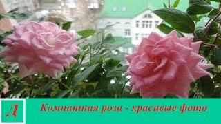 Комнатная роза - красивые фото(Красивые фотографии комнатной розы. Советы по уходу за комнатной розой в домашних условиях читайте в стать..., 2016-03-19T11:37:40.000Z)