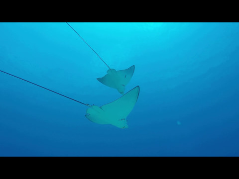 White Spot Eagleray couple in bluecorner , Palau