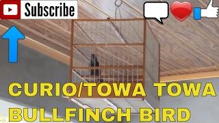 Curio/Towa Towa Bird