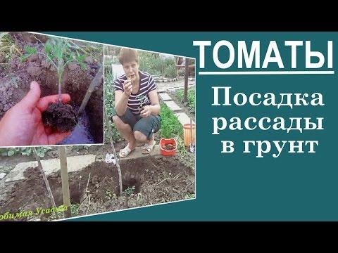 Посадка помидор в грунт . Как у меня получаются мощные кусты помидор