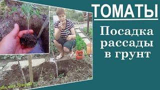 видео Как правильно вырастить рассаду помидор, томатов