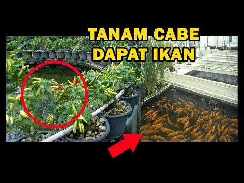 # TIS # Budidaya Cabe&Ikan Mas Terpadu Cara Aquaponik|Macam,Bahan,Tanam|