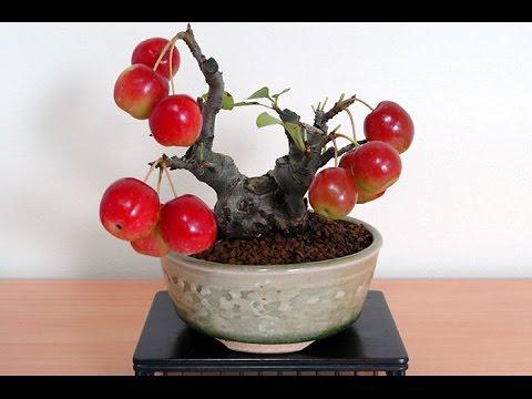 Mini Apple Fruit Bonsai Tree Seeds Part Ii Youtube