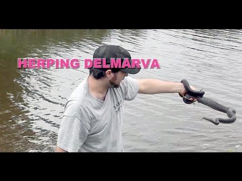 Herping Delmarva