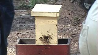 Fat Bee Mans Yard (catching a swarm)