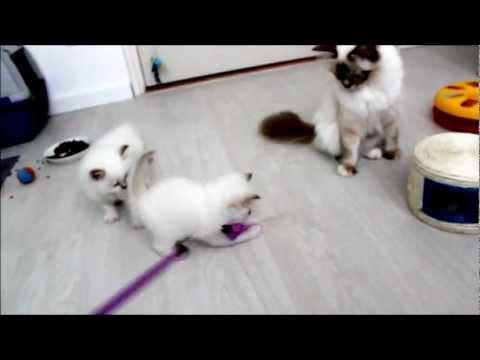 sacred birman kittens @ 5 weeks