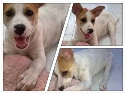 Jack Russell Terrier + Basset Hound Puppy For Adoption - 2..