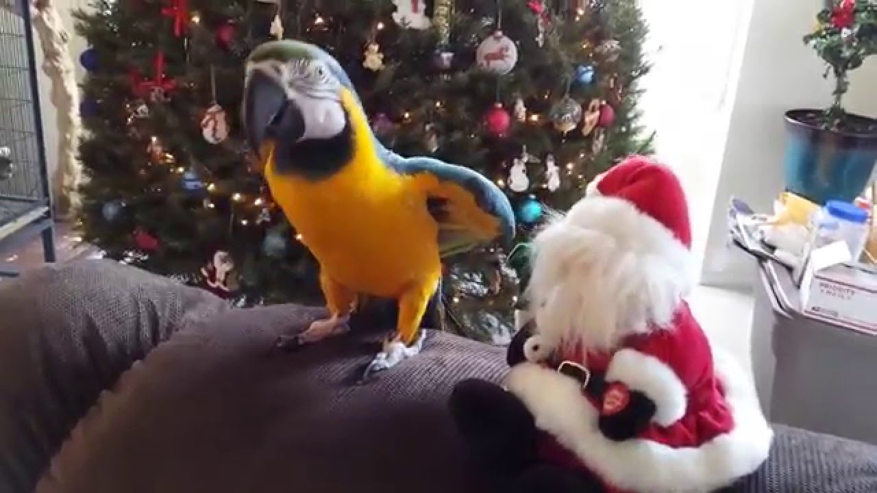 Parrot Attacks Santa